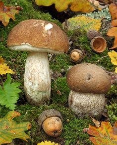 Leccinum Duriusculum (Bolete Mushroom) ~ By tormento
