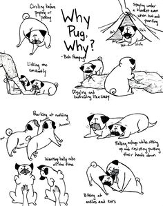 Bah Humpug: Why Pug, Why?  Sometimes I love to wonder why pugs do the things they do.