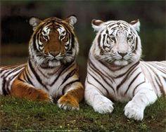 zwarte Bengaalse tijger - Google zoeken