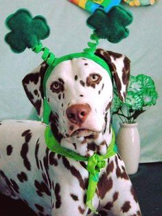 b45c5092fb94 36 Best St. Patrick's Day | Dogs images in 2019 | Dachshund dog ...