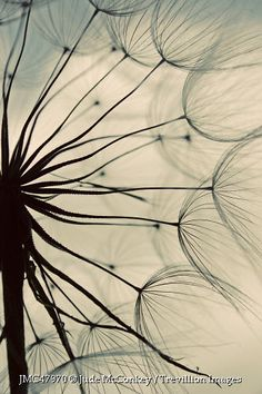 Trevillion Images - close-up-of-dandelion