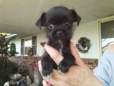 Baby is an adoptable Maltese Dog in Byron, IL. Lil Baby is a 10 week old Maltese/toy Chihuahua mix puppy that is about as cute as she can possibly be. Don't get much cuter...She is adored by her foste...