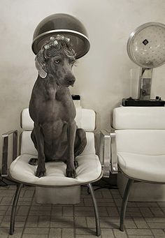 Vintage hound dog in hair salon. You might be a redneck Love My Dog, Dog Grooming Salons, Pet Grooming, All Dogs, Best Dogs, Funny Animals, Cute Animals, Dog Salon, Cute Funny Dogs