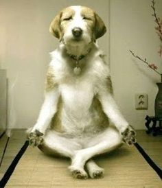 keep trying to teach my dog to meditate with me, its not working this good !
