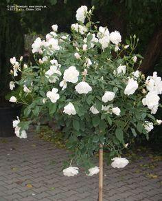 Rosa Schneewittchen - Roos op stam