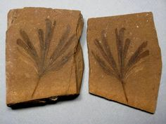 Gingko dissecta Plant Fossils from the McAbee Fossil Beds, Kamloops Group, Tranquille Shale, Cache Creek, B.C. Canada - Geological Time: Middle Eocene
