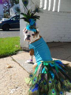 Dog Halloween Costume Contest: Jiji the Prestigious Peacock