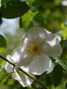 Hybrid Spinosissima Shrub Rose: Rosa 'Frühlingsgold' (Germany, 1937)