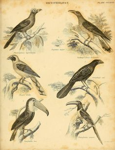 An introduction to the natural history of birds :. Dublin :Adam and Charles Black ;1839.. biodiversitylibrary.org/page/41030894