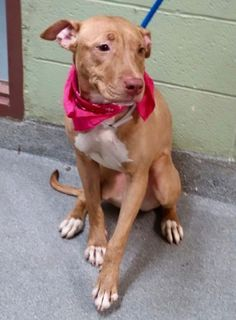 HIT BY CAR!! SUPER URGENT Manhattan Center ZELDA – A1103038 **REPORTEDLY HIT BY CAR, SAFER: NEW HOPE ONLY** FEMALE, BROWN, AM PIT BULL TER MIX, 2 yrs STRAY – STRAY WAIT, NO HOLD Reason STRAY Intake condition INJ MINOR Intake Date 02/06/2017, From NY 10029, DueOut Date 02/09/2017,