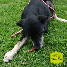 Toby a rescued dog, eating our premium bully sticks!