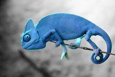 camaleón azul