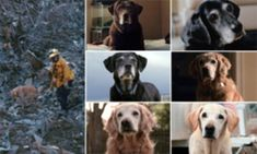 During the chaos of the 9/11 attacks, where almost 3,000 people died, nearly 100 loyal search and rescue dogs and their brave owners scoured Ground Zero for survivors. Now, ten years on, just 12 of these heroic canines survive, and they have been commemorated in a touching series of portraits entitled 'Retrieved'