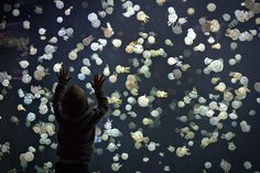 A boy watches jellyfish swim in a large tank at the Vancouver Aquarium in Vancouver