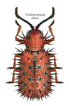 Dicladispa testacea (Linnaeus, (Arthropoda, Hexapoda, Coleoptera) beetle - Anita Smith Home Leaf Beetle, Beetle Insect, Beetle Bug, Insect Art, Weird Insects, Cool Insects, Bugs And Insects, Cool Bugs, A Bug's Life