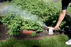 Pinner: soapy water can help eliminate pests. A comment: When the going gets tough I add some listerine type mouth wash and a bit of water that I soaked chewing tobacco in. With this mix I can defeat 90% - 95% of the pests I encounter, slugs, snails and rabbits hate the taste of it. It is an ingredient it the worlds greatest composting mix too.
