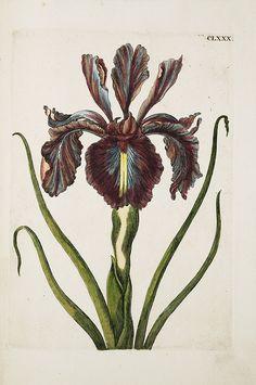From: Maria Sibylla Merian,  Raupen wunderbare Verwandelung und sonderbare Blumennahrung, 1730
