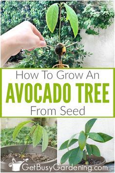 Growing avocado from seed is fun! Get detailed step-by-step instructions for how to grow an avocado tree from a pit, and learn how to care for the seedling. Starting A Garden, Seed Starting, Growing An Avocado Tree, Grow Avocado From Pit, Fruit Garden, Veg Garden, Indoor Garden, Free Plants, Gardening For Beginners