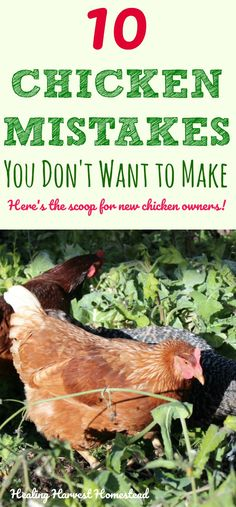 Are you thinking about getting chickens? Here are 10 common mistakes new chicken owners (and even seasoned chicken folks) make. Learn what to avoid, how to treat your chickens right, how much space they need, and lots more in these frequently asked chicken questions. You don't want to make these chicken mistakes!