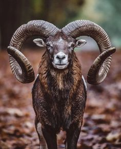 Nature Animals, Farm Animals, Animals And Pets, Cute Animals, Animals With Horns, Beautiful Creatures, Animals Beautiful, Big Horn Sheep, Sheep Breeds