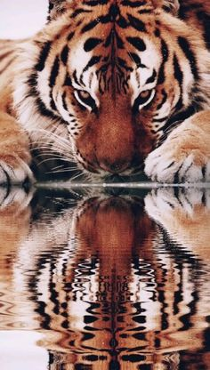 This tiger is drinking water. Beautiful Cats, Animals Beautiful, Beautiful Pictures, Wildlife Photography, Animal Photography, Cute Baby Animals, Animals And Pets, Image Avion, Wild Tiger