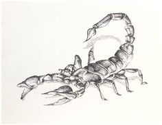 Scorpion drawing, black and white drawing, ball point pen drawing, scorpio, pen sketch, ballpoint pen sketch, scorpion print