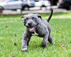 Harper the pit bull