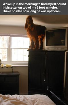 """""""I saw a spider."""" Woke up in the morning to find my 80 pound Irish setter on top of my 5 foot armoire. I have no idea how long he was up there…"""