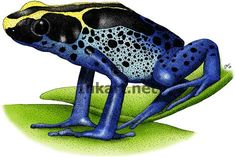 Dyeing Poison Dart Frog (Dendrobates tinctorius) Line Art Illustration Poison Dart Frogs, Frog Art, Stock Art, Tree Frogs, Amphibians, Illustration Art, Illustrations, Moose Art, Animals