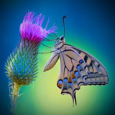 """Some-kinda Butterfly (whatca macallit) ~ Miks' Pics """"Butterflies and Moths l"""" board @ http://www.pinterest.com/msmgish/butterflies-and-moths-l/"""