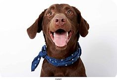 Chocolate Labrador Retriever Dog, Charley