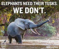 Mankind has no right to hunt these animals just for their tusks!