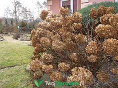 Hydrangeas, Sad, Gardening, Plants, Balcony, Lawn And Garden, Plant, Hydrangea Macrophylla, Planets