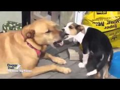 Dog Training - Becoming a Dog Pack Leader by Doggy Dan Puppy Training Schedule, Dog Training Tips, Pet Dogs, Dogs And Puppies, Pets, New Puppy, Puppy Love, Australian Terrier, Dog Behavior