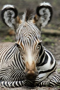 Cute Little Baby Zebra - Look at those Ears!