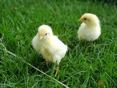 Magic Water for Baby Chicks - this beautiful farm life Raising Goats, Raising Chickens, Mail Order Chickens, Chicken Breeds Chart, Incubating Chicken Eggs, Backyard Poultry, Work With Animals, Beautiful Farm, Chicken Feed