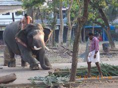 Guruvayur Temple Elephant.