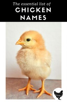 Naming chickens is hard, we've made it easy with this huge list of awesome chicken names!