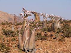 Les Socotris le désignent sous le nom de «Rose du désert » Srahin (Socotra): photos www.loic-paradise.com