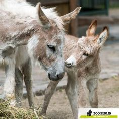 Sardinian Miniature Donkey
