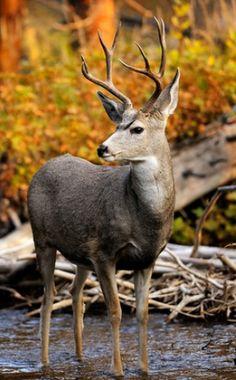 mule deer buck in a stream