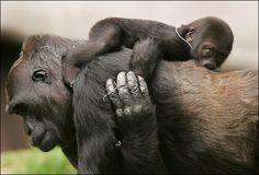 Mama and Baby Gorilla