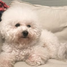 Super Cute Puppies, Cute Dogs And Puppies, Perros French Poodle, Animals And Pets, Cute Animals, Bichon Dog, Dog Pee, Happy Puppy, Dog Friends