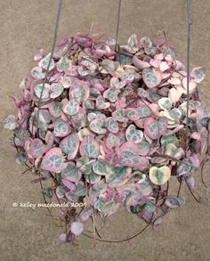 """String of Hearts """"variegata"""" (Ceropegia woodii) wouldn't you love to have this hanging in your bedroom"""