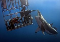 Picture of daredevil divers teasing a great white shark