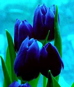 Deep blue tulips ~ stunning