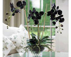 Phalaenopsis black hybrid