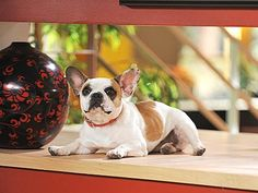 Brigitte, the French bulldog behind Stella on Modern Family, is the most beloved French bulldog on TV.  We love her ears!