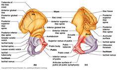anatomy gross anatomy physiology cells cytology cell physiology organelles tissues histology organs regional anatomy organ