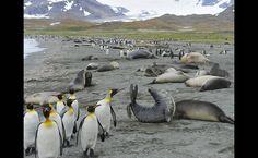 """22/jan/2013 - O fotógrafo canadense Tony Beck explica que é possível ver """"milhares de pinguins, como se fossem pequenos soldados de cerca de 90 centímetros de altura, em grupos bem unidos, cobrindo colinas e planícies""""."""